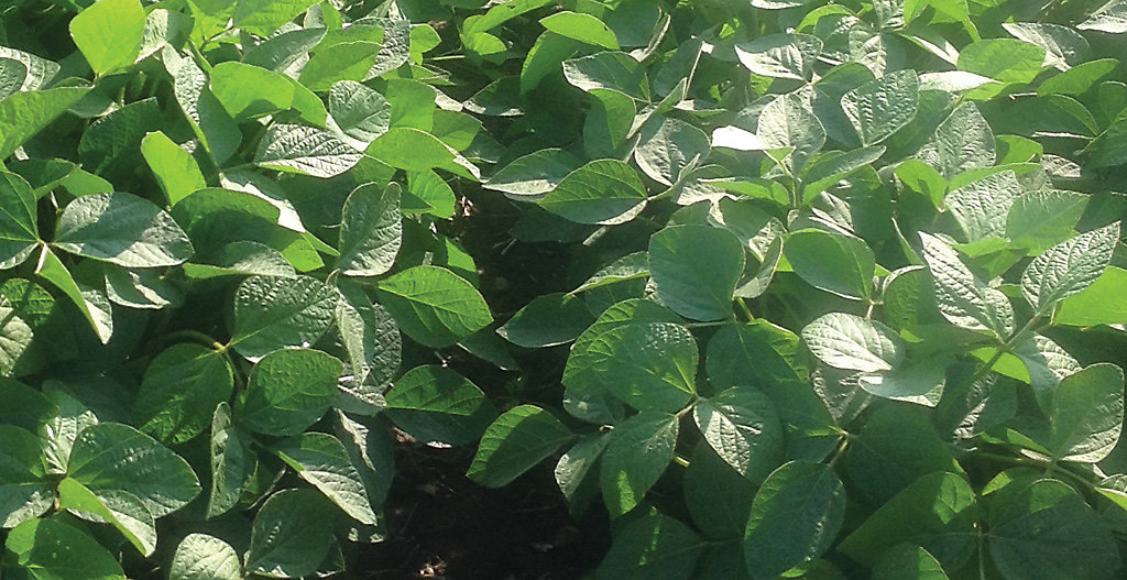 Healthy soybean leaves