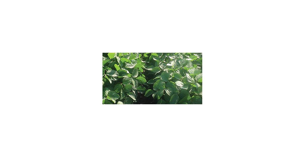 Healthy soybean leaves