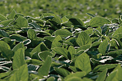 Close up of treated soybeans