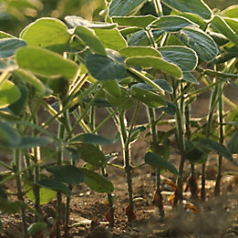 FirstRate® herbicide for soybean