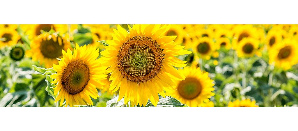 IMG-Sunflower-SunfloerField-3-6_1