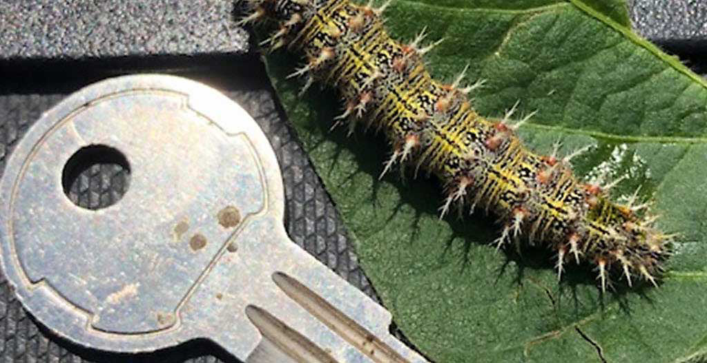 Thistle caterpillar perspective.