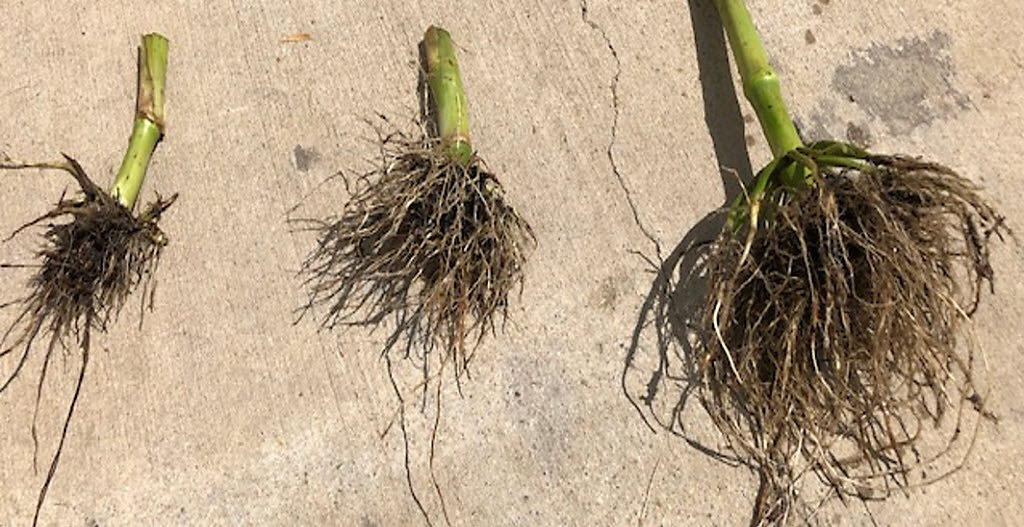 Crop Tour 2019 - Corn Roots Damaged from CRW.