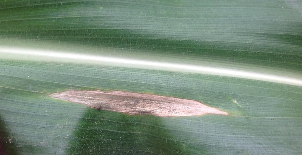 Crop Tour 2019 - Northern Corn Leaf Blight Injury - Iowa