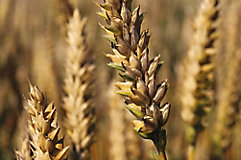 Image of head of wheat.