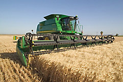 Image of wheat being harvested.