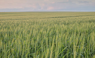 Wheat landscape