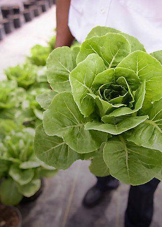 Closeup of lettuce being held