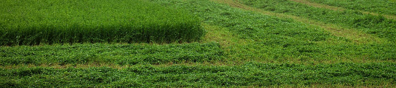 Alfalfa Field, alfalfa
