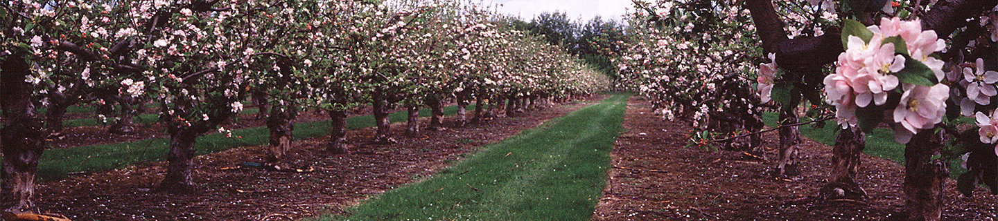 apple orchard in flower