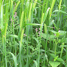 Barley  Weeds