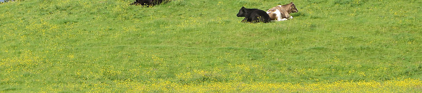 cattle grazing buttercup field