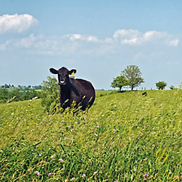 Image of a cow in a pasture