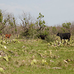 Image of cattle in pasture with pricklypear