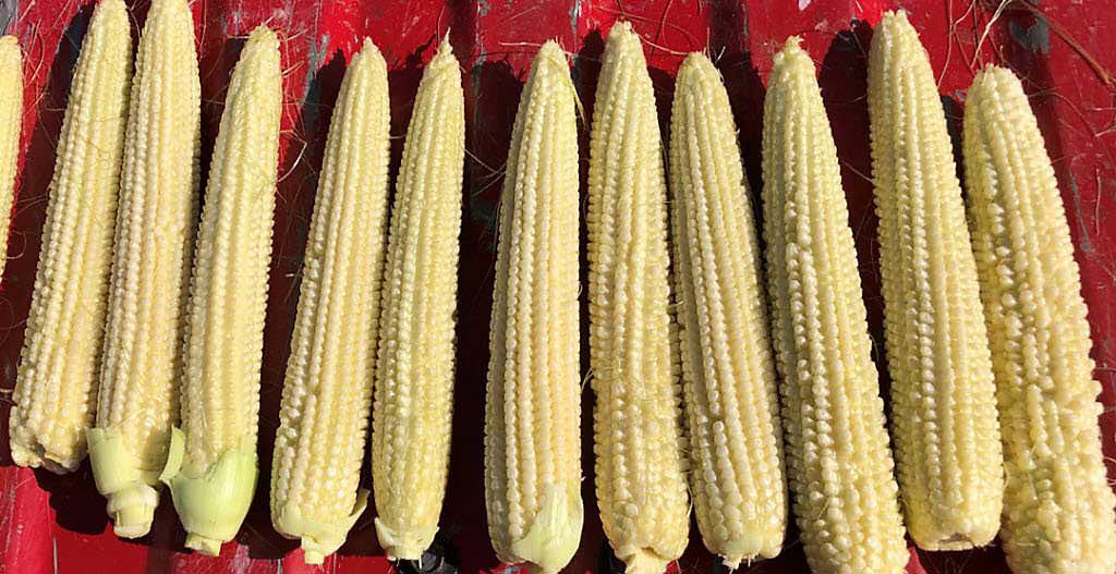 Crop Tour 2019 - Corn Ears Side-by-Side Comparison