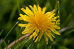 image of dandelion in grass