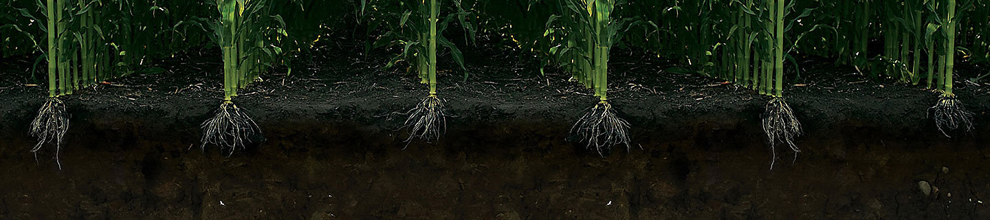 eNtrench NXTGEN Corn Roots