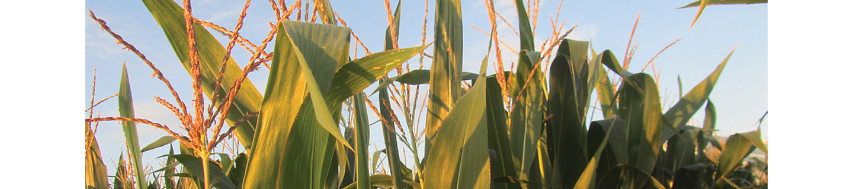 Кордус® Плюс гердицид - защита кукурузы | Corteva Agriscience
