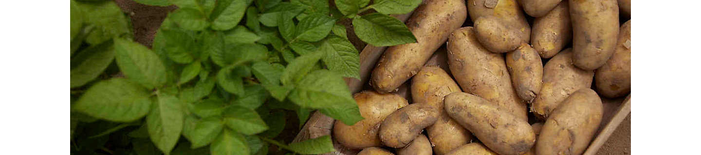 Клубни картофеля с листьями