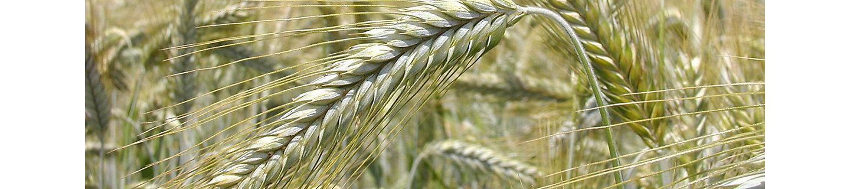 Колос зернового растения