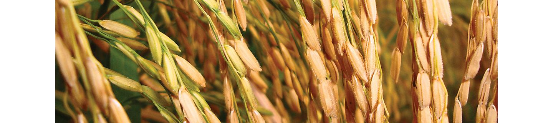 Крупные ростки риса