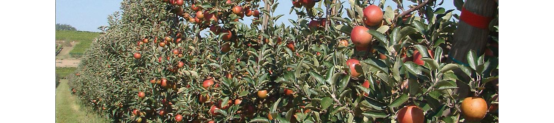Спелые красные яблоки на деревьях