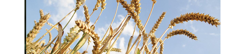 Пшеничные колоски на поле