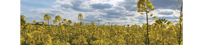 Желтое поле рапсового растения