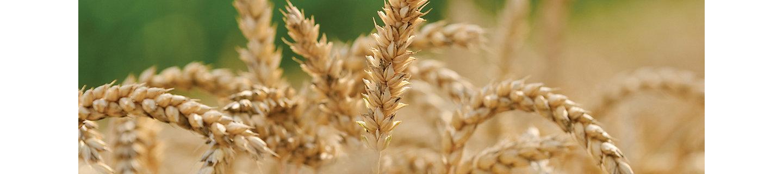 Крупные ростки пшеницы