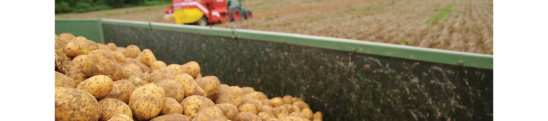 Сбор урожая картофеля в поле.