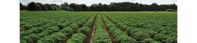 Поле с кустами картофеля