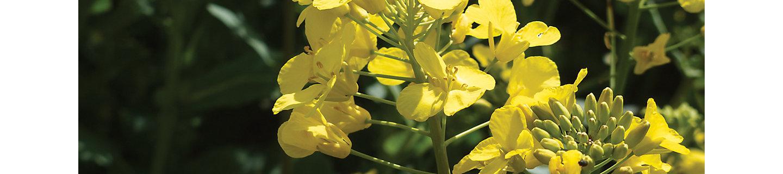 Желтый цветок рапсового растения