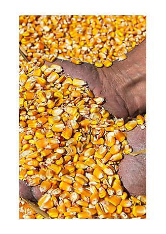 holding corn grains