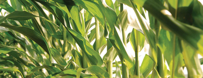 Зеленые стебли кукурузы.