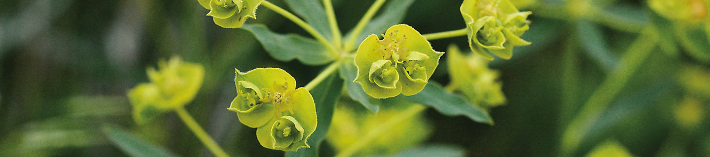 Image of leafy spurge