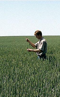 mand studerer korn i mark