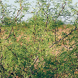 Image of Mesquite bush