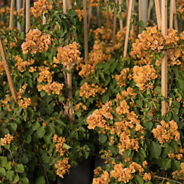 Image of orange flowers in a nursery