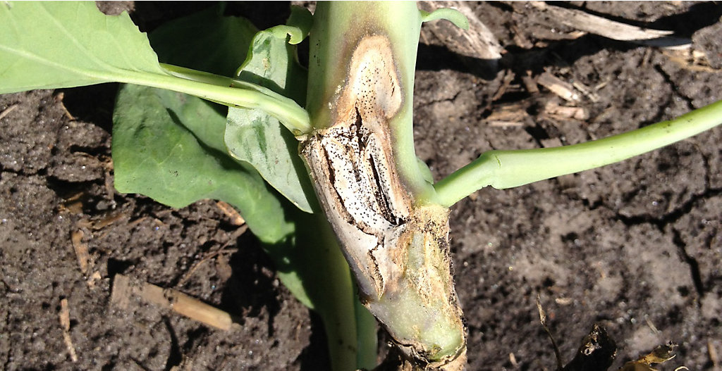 Clubroot Is On The Move