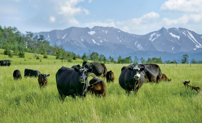 Image of cattle in pasture