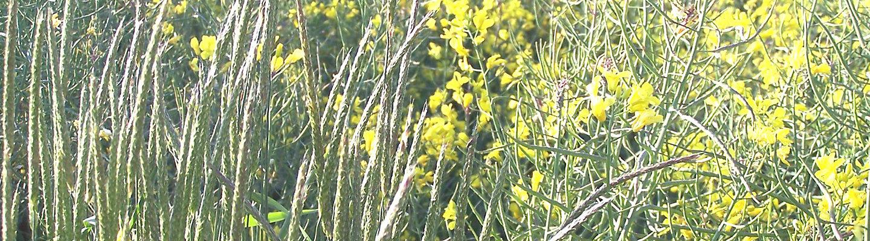 Blackgrass