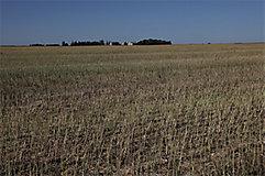 Canola stubble field