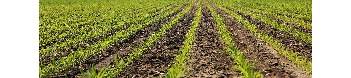 Image of young early season corn field