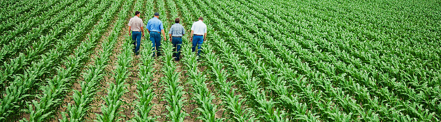 image of Farmers walking in corn field