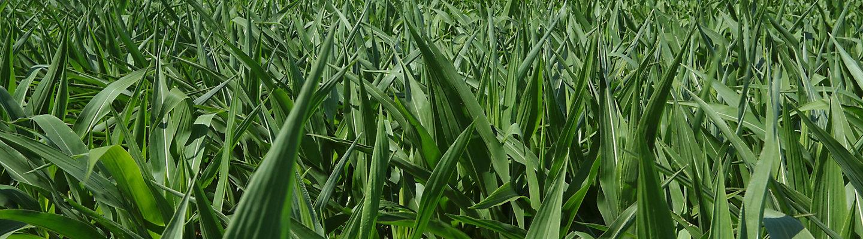 玉米玉米玉米