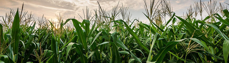 Corn Growing at Dawn