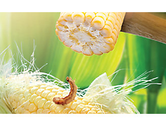 Corn with insect and hammer