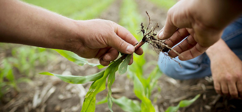 Росток кукурузы в руках