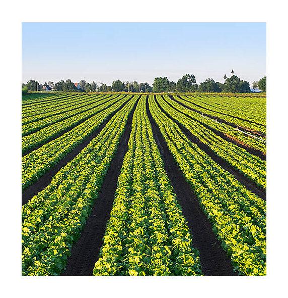 Ochrona upraw â   ziemniaki