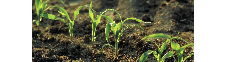 Brevant Saatgut Hybride Mais Maissaatgut